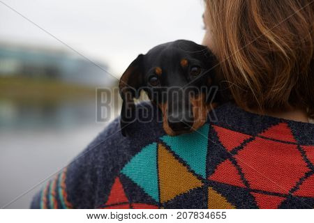 Rear view of unrecognizable female wearing colorful sweater carrying dachshund dog on her shoulder while spending weekend outdoors blurred nature in background. People pets and relaxation concept