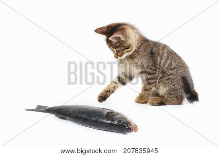 Little kitten looks at a labrax fish on a white background
