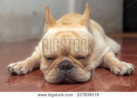 Cute French Bulldog Lovely Pets.