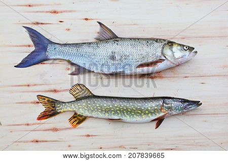 The Asp fish - Aspius Aspius and a Northern Pike - Esox Lucius. Fishing catch of predatory fishes.