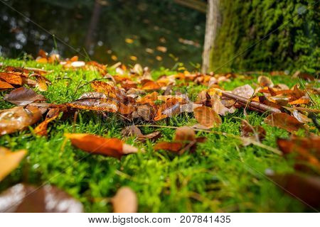 Autumn leaves on fresh green colored moss. lovely contrasting autumn colors in the forest with splendid autumn light.