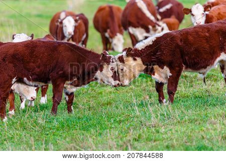 Two hereford steers butting heads in the pasture