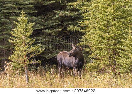 a cow moose in Wyoming in fall