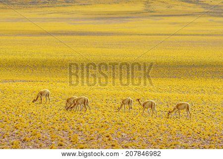 View of Vicuna in the Altiplano landscape of Chile by San pedro de Atacama