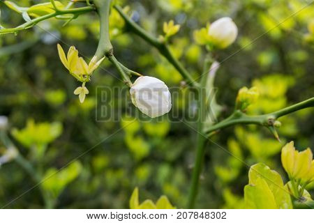 Close-up of white blooming Buds on green Branches. View on blooming Flowers in Sunlight. Blooming Flowers in Spring. Nature ans Flower Backgrounds.