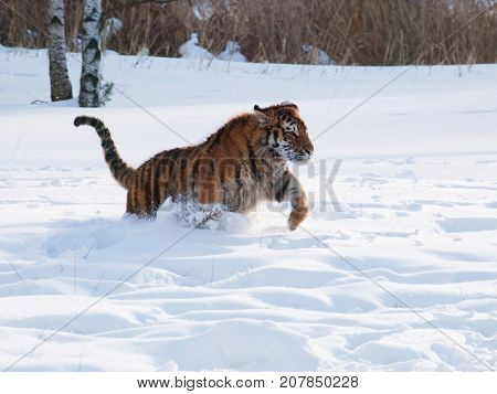 Siberian tiger hunting for the prey in the snow - Panthera tigris altaica