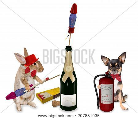 Cute dog chihuahua will be safety for fireworks rockets with bunny