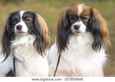 two dogs of the Papillon breed are looking into the camera, close-up. Space under the text. 2018 year of the dog in the eastern calendar Concept: parodist dogs, dog friend of man, true friends, rescuers.