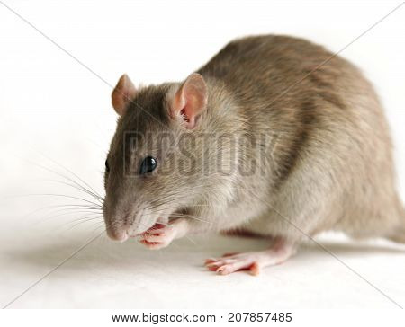 Rat, Gray Mouse eating over white background