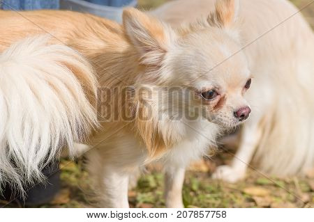 Chihuahua dog Close-up. Space under the text. 2018 year of the dog in the eastern calendar Concept: parodist dogs, dog friend of man, true friends, rescuers.