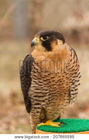 Upper Body Head Side View of Barbary Falcon in Captivity, Falconry