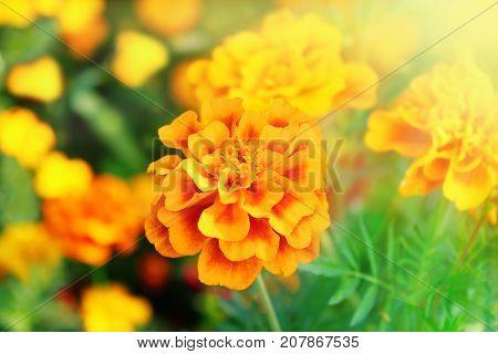 beautiful flowers of motley and velvet marigolds