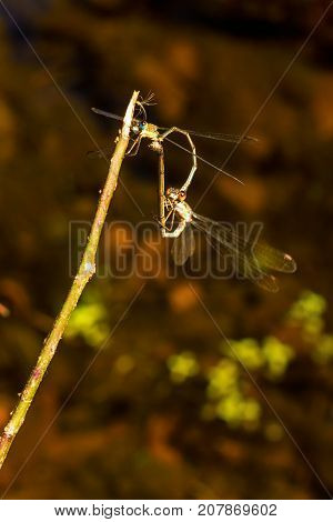 Two dragonflies mating on a tree branch over a small creek
