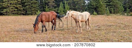 Bay Stallion grazing and Palomino Stallion wild horses in the Pryor Mountains Wild Horse Range in Montana United States