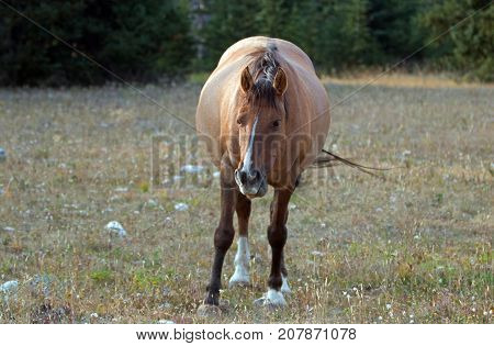 Wild Horse - Pregnant Buckskin Bay mare walking at sunset in the Pryor Mountains Wild Horse Range in Montana United States
