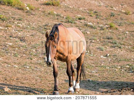 Wild Horse - Pregnant Buckskin Dun mare walking at sunrise in the Pryor Mountains Wild Horse Range in Montana United States