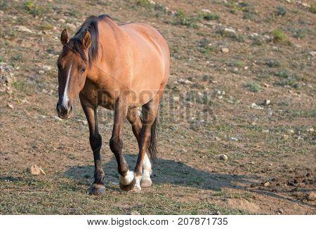 Wild Horse - Pregnant Buckskin Bay mare walking at sunrise in the Pryor Mountains Wild Horse Range in Montana United States