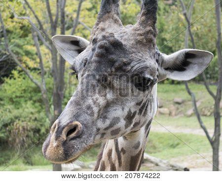 Portrait headshot of a masai giraffe.  Also called a kilimarjara giraffe.
