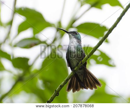 White-chested Emerald Hummingbird (Amazilia chionopectus chionopectus) on a Vervain branch in Northern Trinidad with tail spread