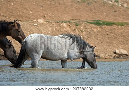 Young Blue Roan Stallion Wild Horse Drinking At The Watering Hole In The Pryor Mountains Wild Horse