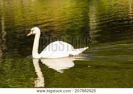 swan on green river day time composition photography