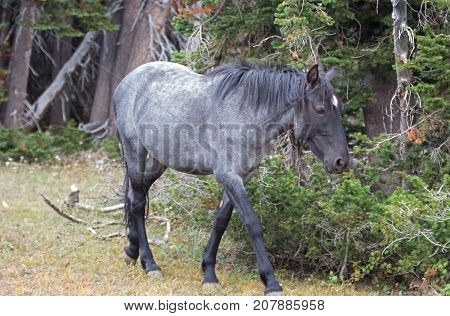 Young Blue Roan Stallion wild horse in the Pryor Mountains wild horse range in Montana United States