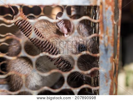 A big brown rat in cage trap or mouse trap.