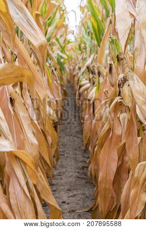 Tall Rows Of Golden Corn Stalks Ready For Harvest Forming A Narrow Dirt Path