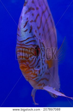 Tiger turquoise discus in a blue background