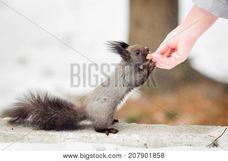 Hand feeding squirrel in snowy forest close up