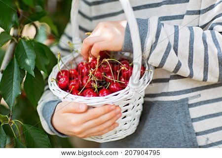 close-up of kids hands holding white basket full of ripe cherry berries during u-pick season at the farm