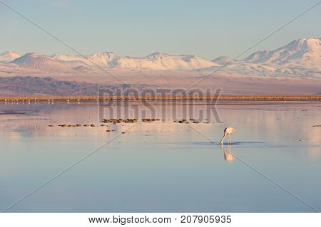 beautiful landscape view of laguna chaxa in atacama desert chile with one flamingo in the salty lagoon