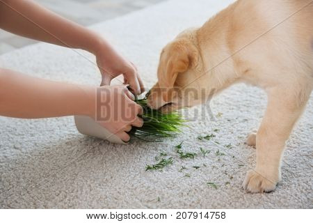 Woman punishing little puppy for chewing houseplant on carpet