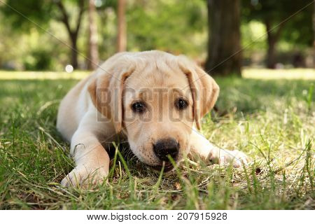 Cute Labrador Retriever puppy lying on green lawn outdoors