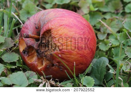 Rotten apple on the gronud with ants