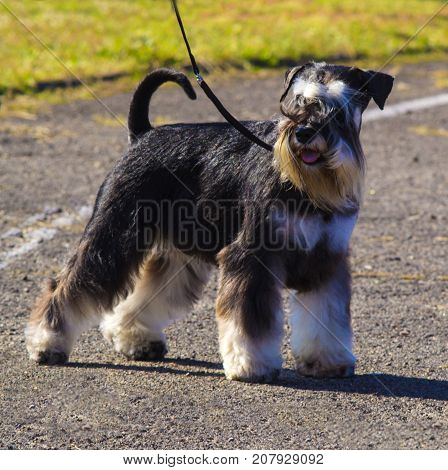 Miniature Schnauzer dogs. Portrait of a young miniature schnauzer