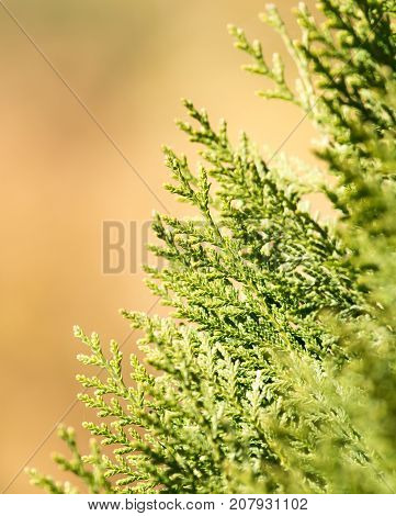 Green Hedge of Thuja Trees . In the park in nature