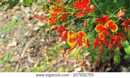 Panicle of Caesalpinia pulcherrima red and yellow flower background blur in Thailand.