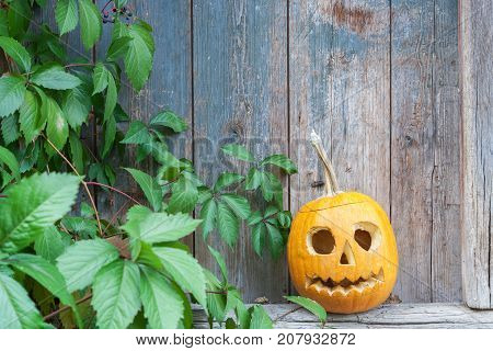 Halloween pumpkin (Jack o lantern) on the background of an old wooden door framed by leaves of wild grapes ready for text invitation or card for haloween party