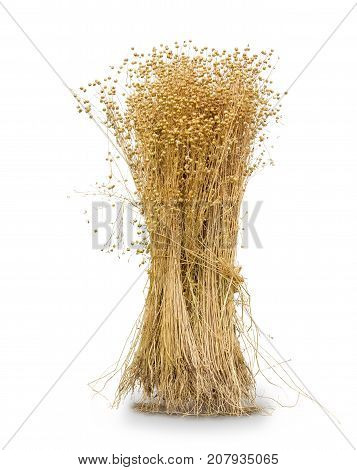 Sheaf of the harvested flax with stems seed capsules and roots on a white background