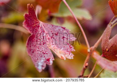 Multi-colored leaves of gooseberry. Autumn colors of wildlife. Natural color scheme. Autumn leaves close-up. Drops of rain on the leaves close-up.