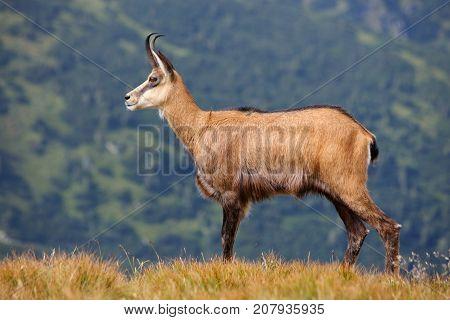 Chamois - Rupicapra rupicapra on the mountain meadow