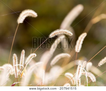 stalks of grass on the nature . In the park in nature