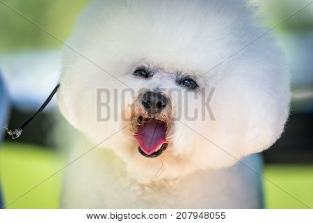 A small Dog Bichon Frise with a white coat ready for show