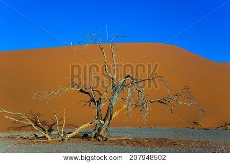 Sunset, Namibia, South Africa. The concept of extreme and exotic tourism  Giant yellow dune and small lonely tree in the Namib Desert