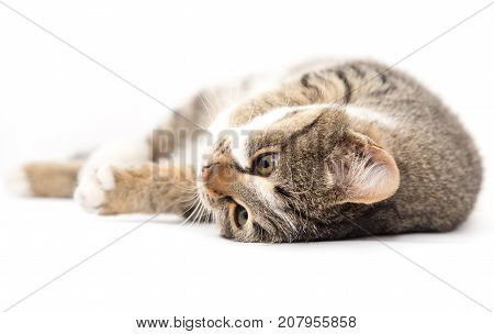 cat plays on a white background . Photos in the studio