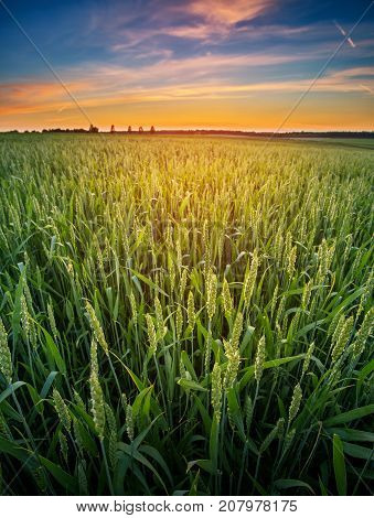 Wheat germ in the sunset. Young wheat on an agricultural field.