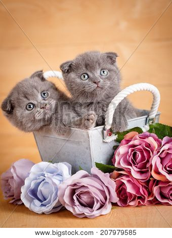 Couple Scottish Fold Cats in decorative wooden box near bouquet of flowers.Cats at home. Scottish fold cats portrait. Cat food promotion
