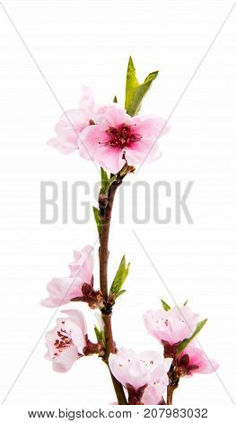 branch Sakura flowers isolated on white background