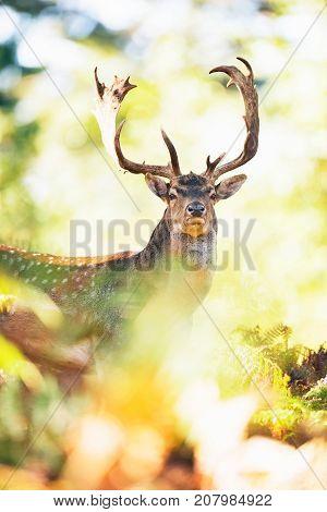 Fallow Deer Buck (dama Dama) Between Ferns In Fall Forest.
